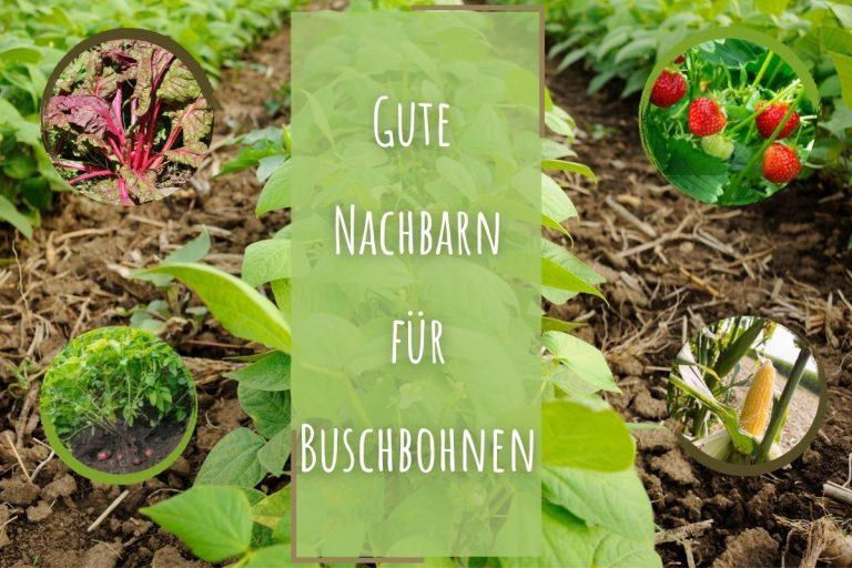 gute Nachbarn von Buschbohnen - Titelbild