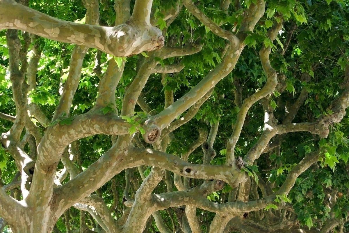 Ahornblättrige Platane (Platanus acerifolia) mit weißer Rinde