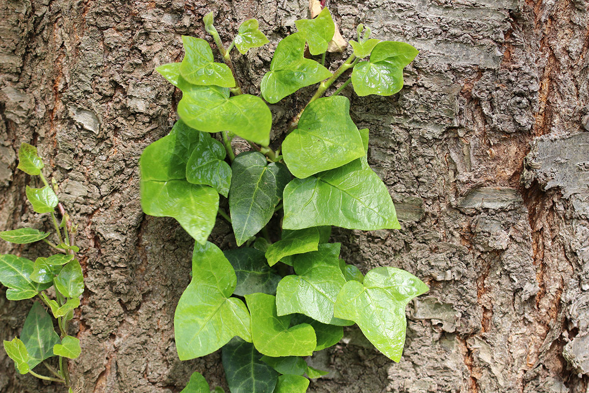 giftige Bäume: Baumefeu (Hedera helix)