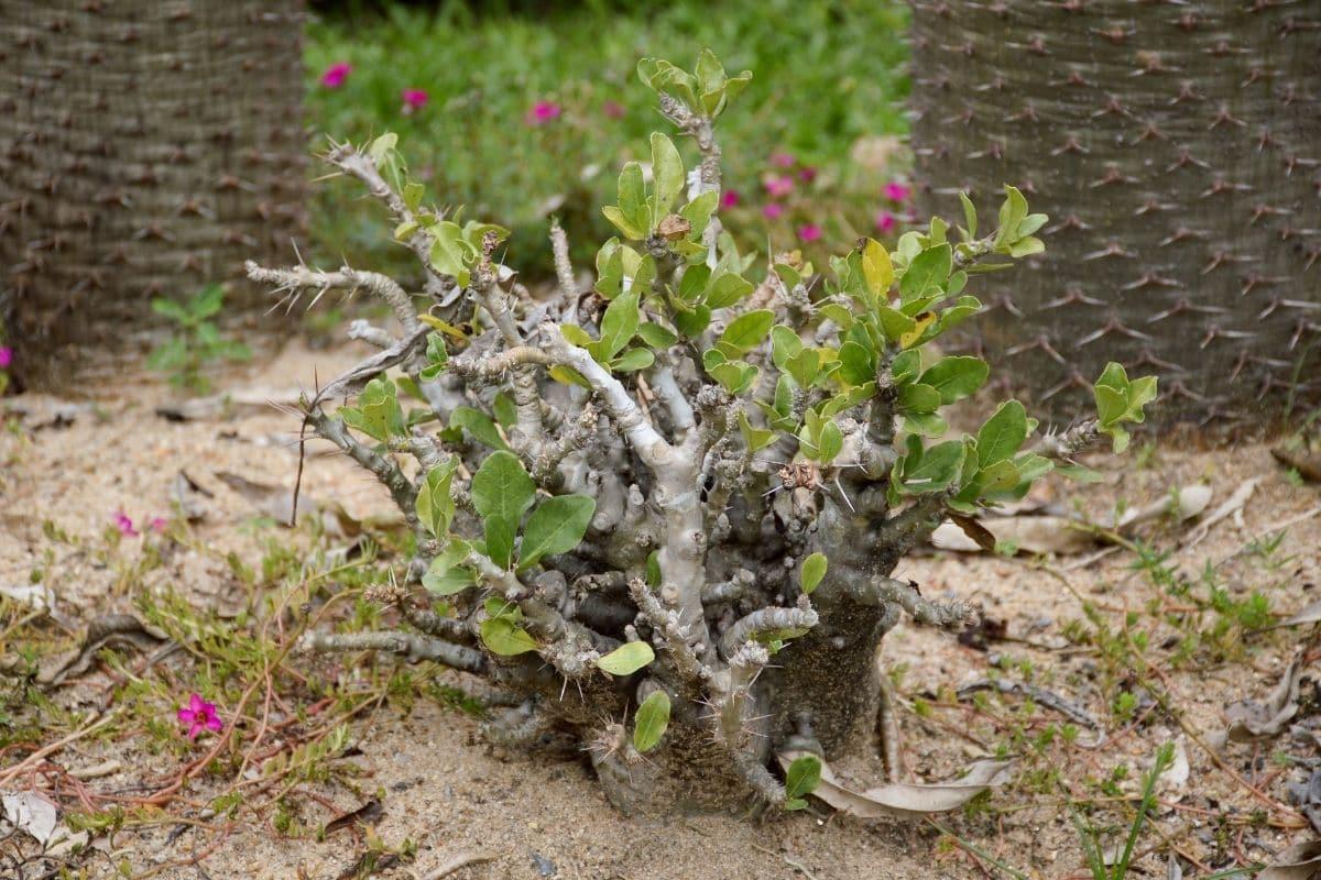 giftige Bäume: Bottle Tree (Pachypodium lealii)