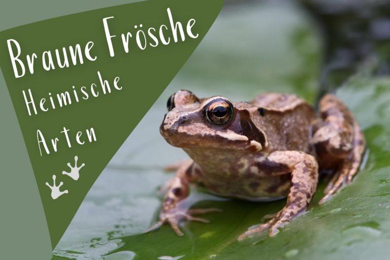 Braune Frösche 5 heimische Arten mit Bild - Titelbild