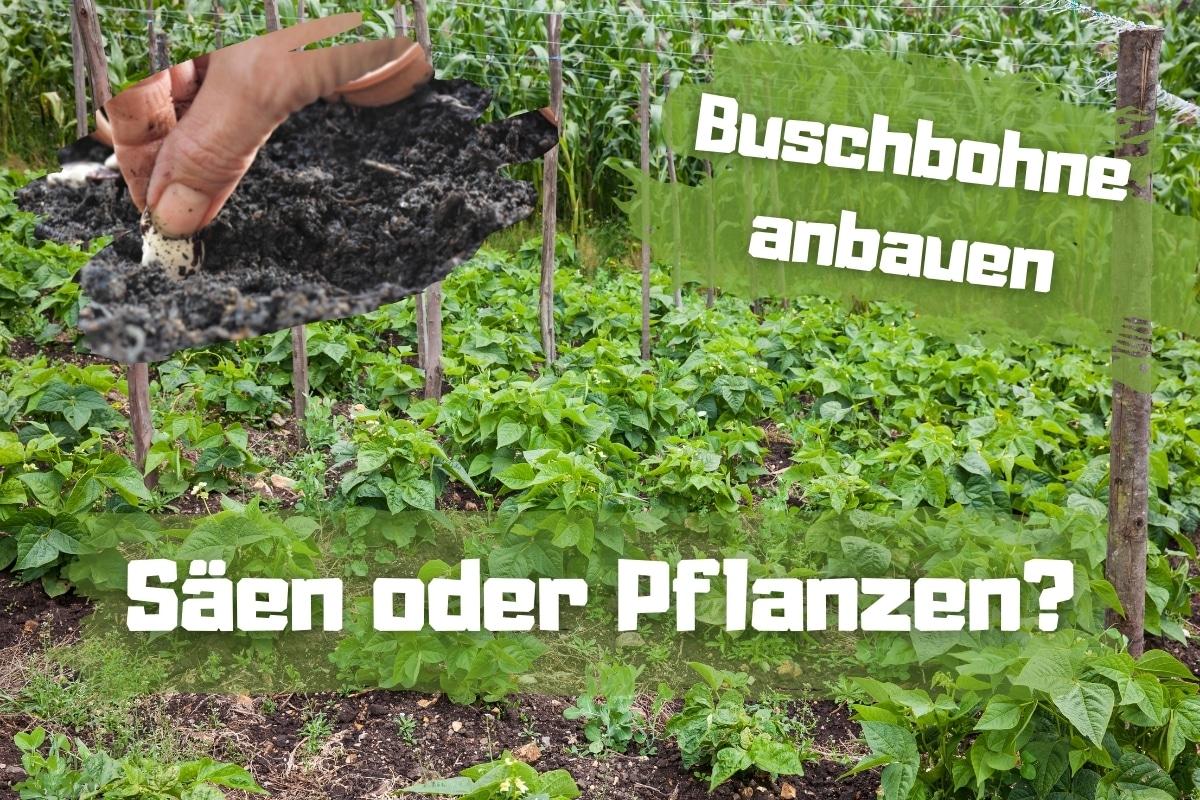 Buschbohne anbauen: Säen oder Pflanzen? - Titelbild