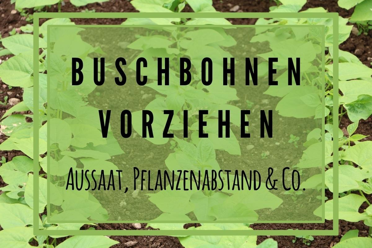 Buschbohnen vorziehen: Aussaat, Pflanzabstand & Co - Titelbild