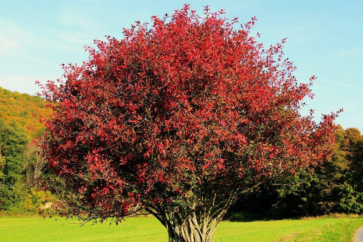 giftige Bäume: Europäisches Pfaffenhütchen (Euonymus europaeus)