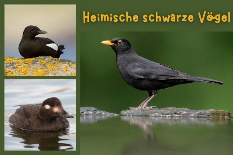 23 heimische schwarze Vögel mit Bild - Titelbild
