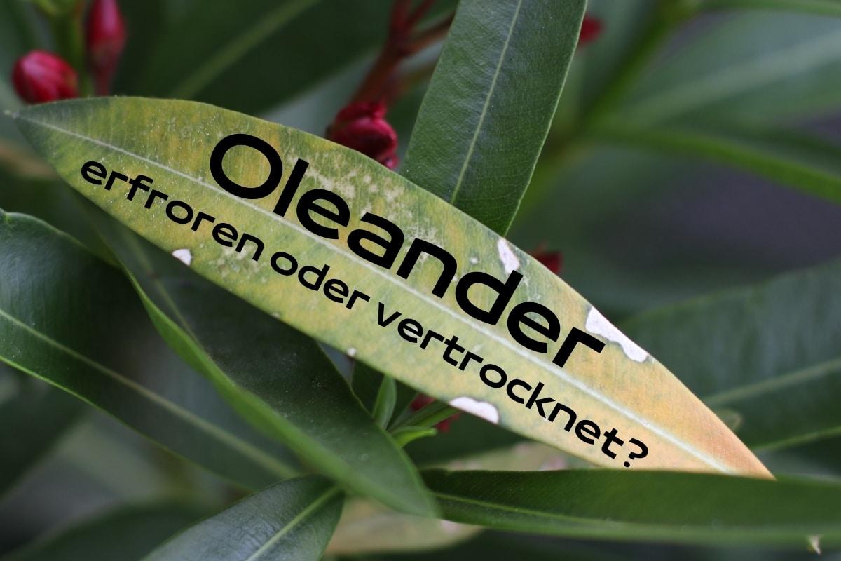 Ist mein Oleander erfroren oder vertrocknet? Titelbild