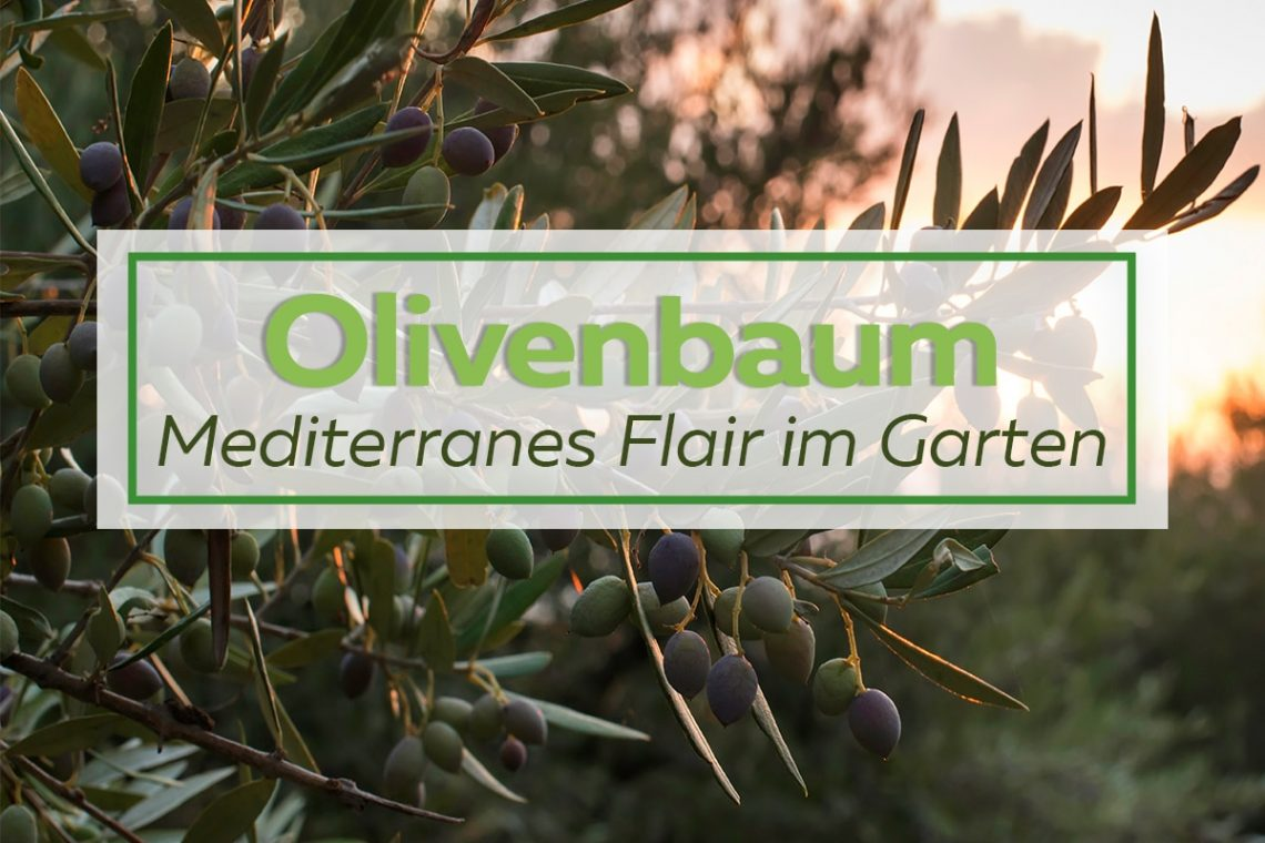 Olivenbaum_Kategorie