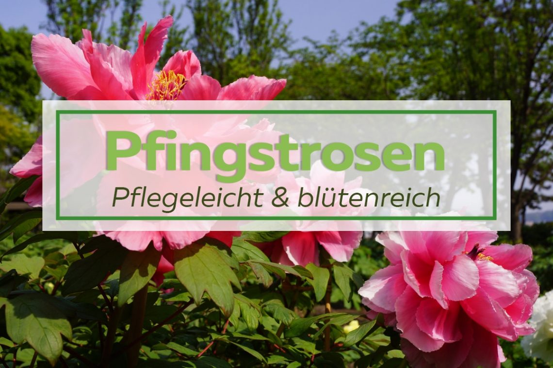 Pfingstrosen