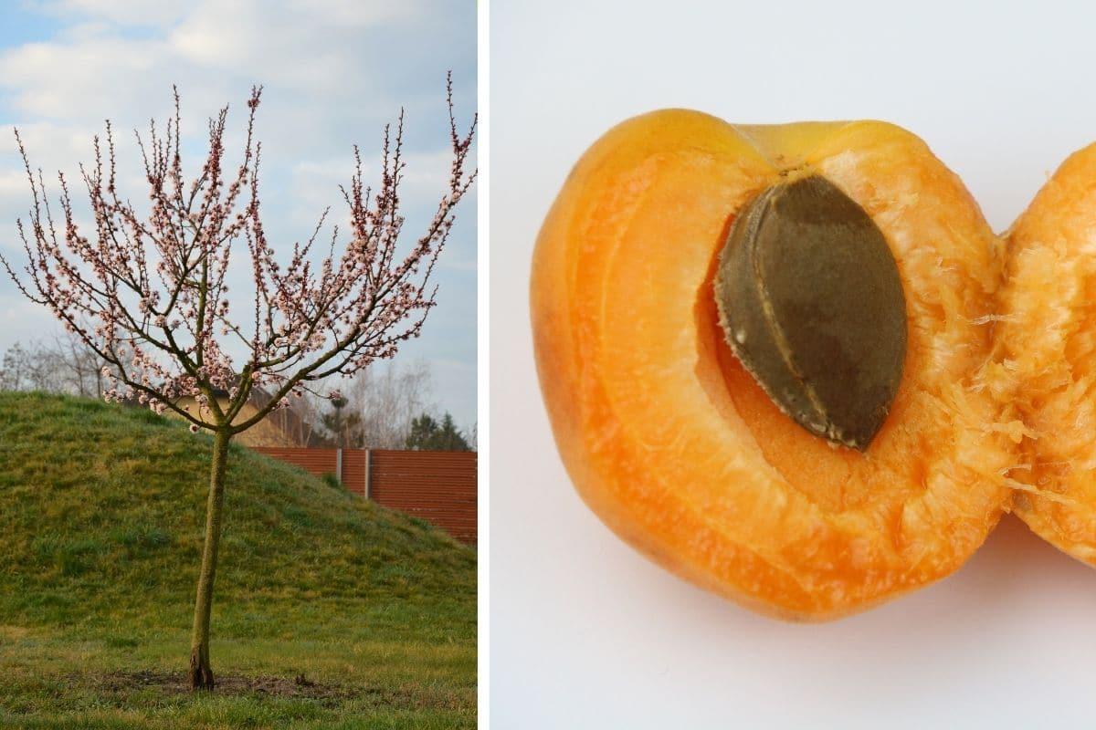 giftige Bäume: Aprikosenbaum (Prunus armeniaca)