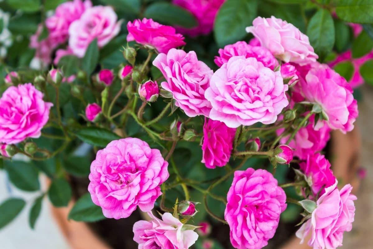 Englische Rose 'The Fairy'