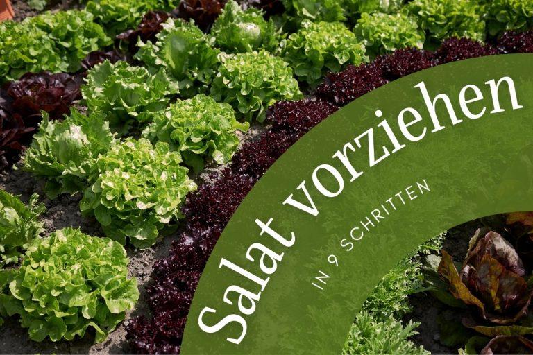 Salat vorziehen in 9 Schritten | Standort & Co - Titelbild