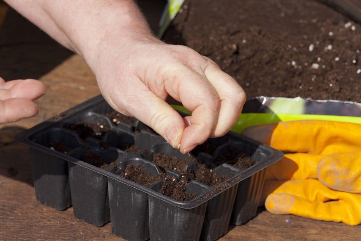 Samen ausbringen