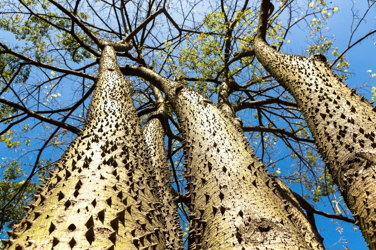 giftige Bäume: Sandbüchsenbaum (Hura crepitans)