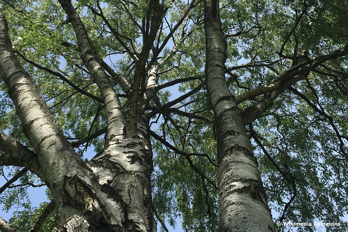 Schlitzblättrige Birke (Betula pendula 'Dalecarlica') mit weißer Rinde