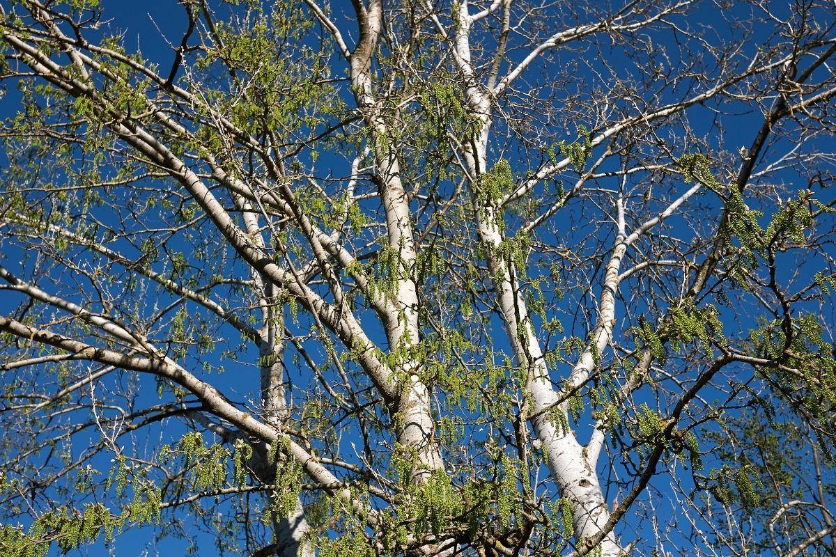 Silber-Pappel (Populus alba) mit weißer Rinde