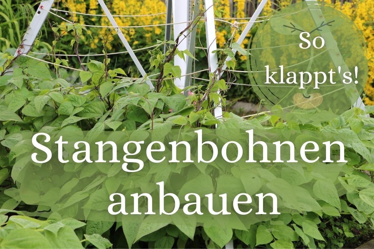 Stangenbohnen anbauen: so klappt's - Titelbild