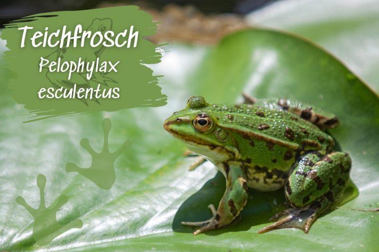 Teichfrosch: Steckbrief, Merkmale und Lebensraum - Titelbild