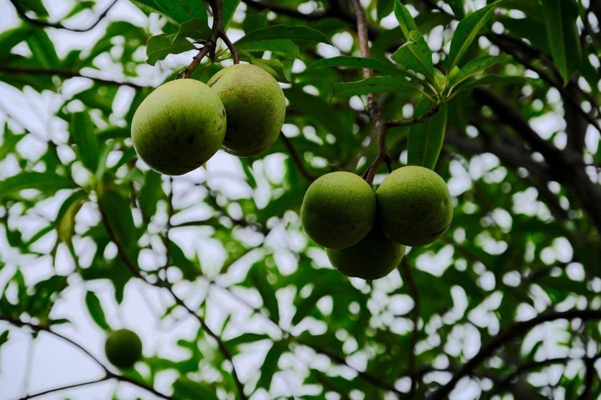giftige Bäume: Zerberusbaum (Cerbera odollam)