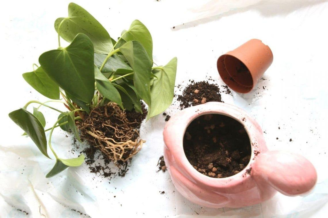 Anthurie umpflanzen