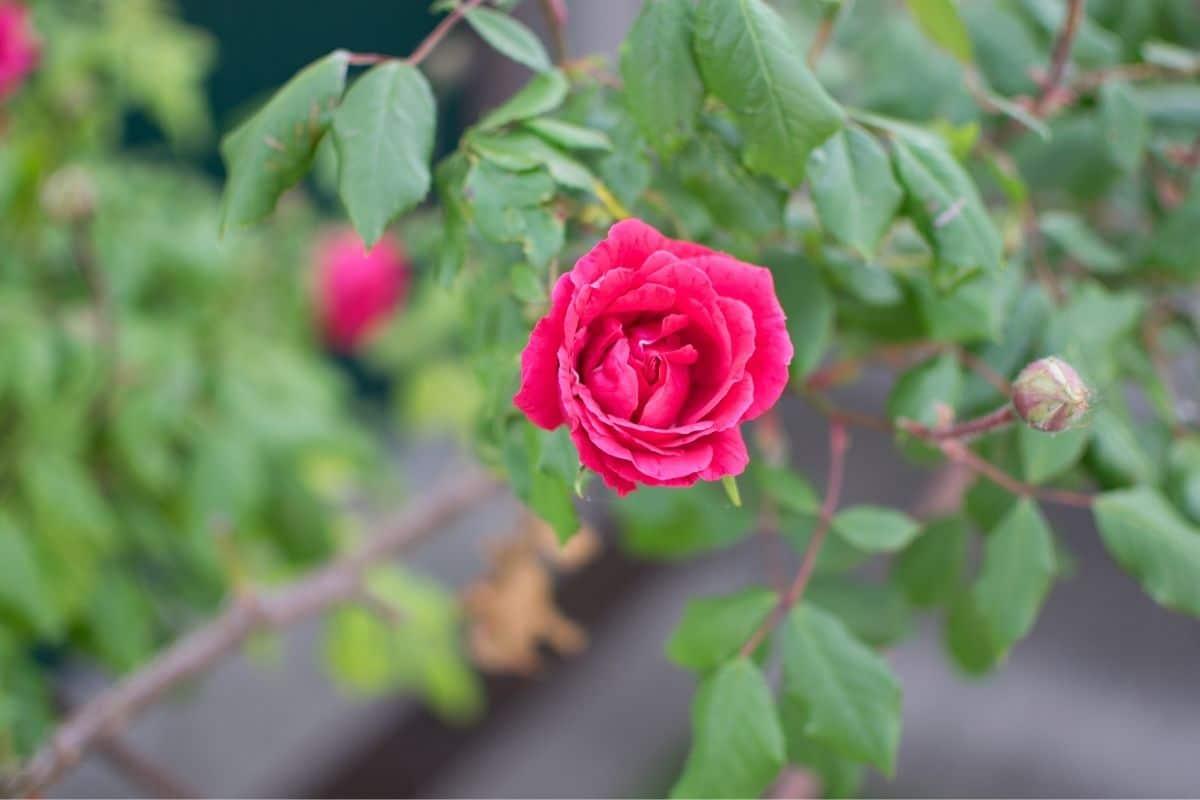 blühende Ramblerrose