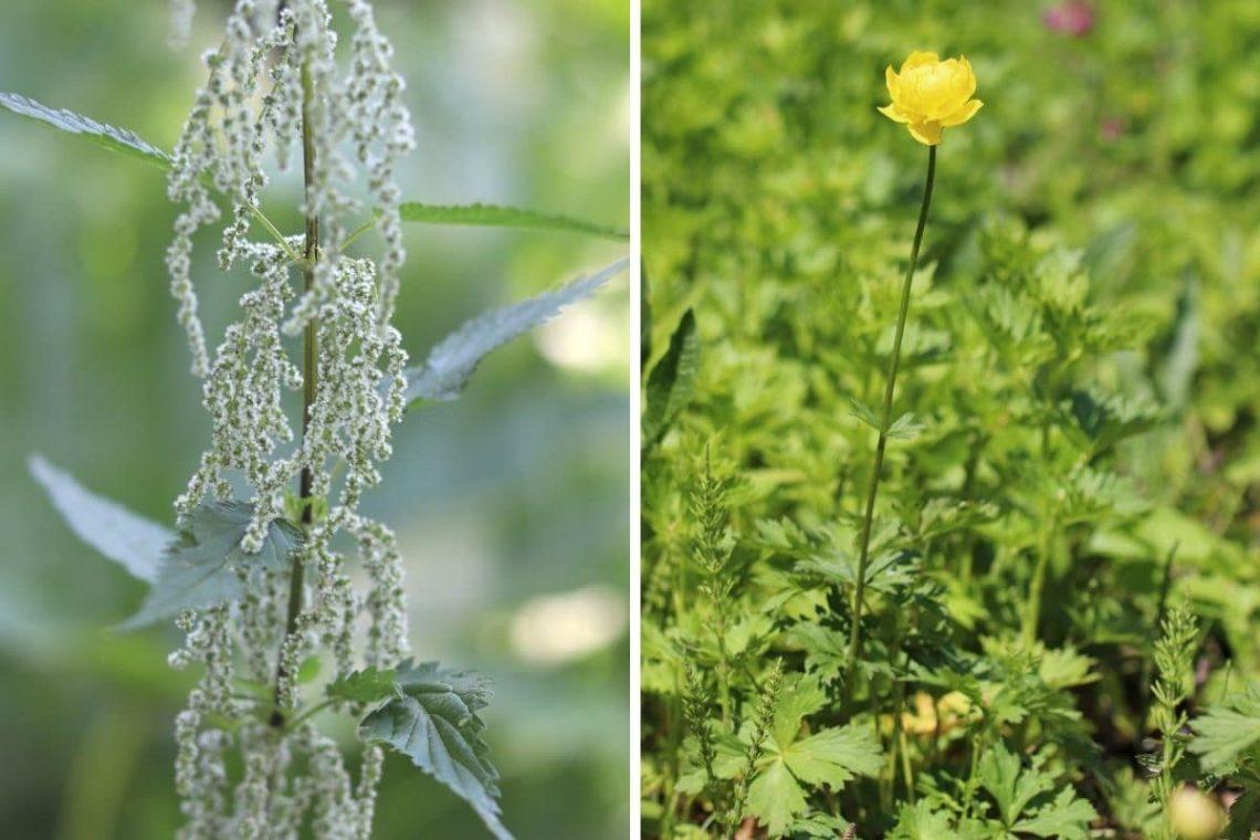 Brennnessel und Trollblume als Zeigerpflanzen