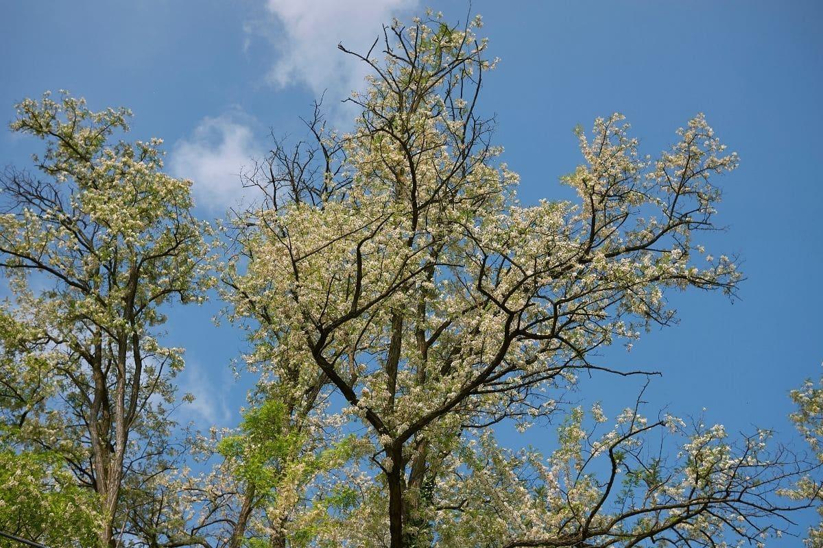 Scheinakazie (Robinia pseudoacacia)