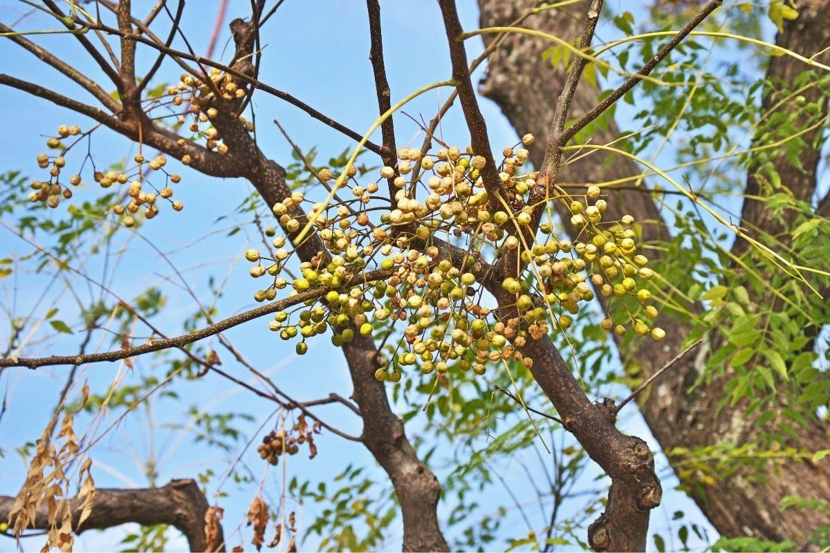 giftige Bäume: Indischer Zederachbaum (Melia azedarach)