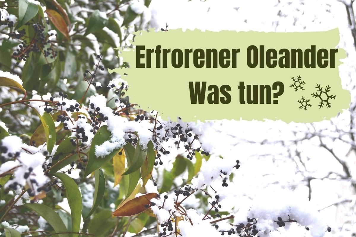 Was tun, wenn Oleander erfroren ist?