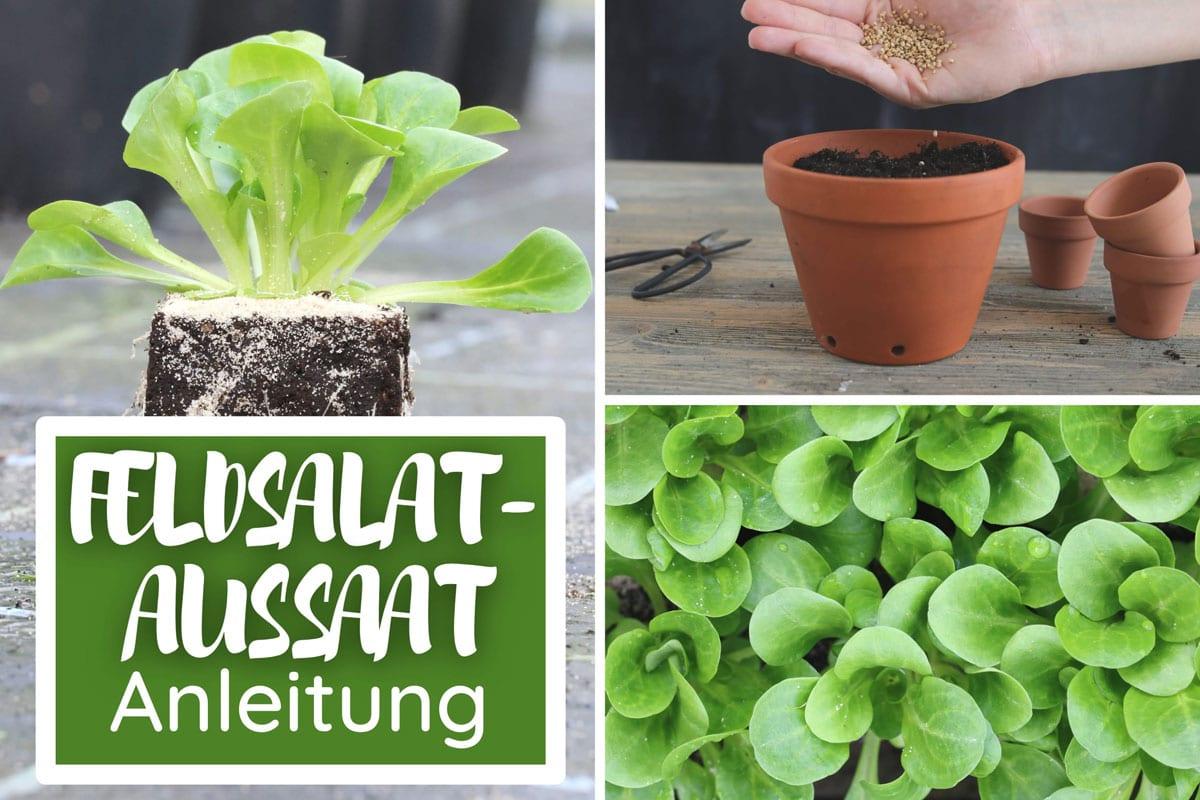 Feldsalat aus Samen ziehen