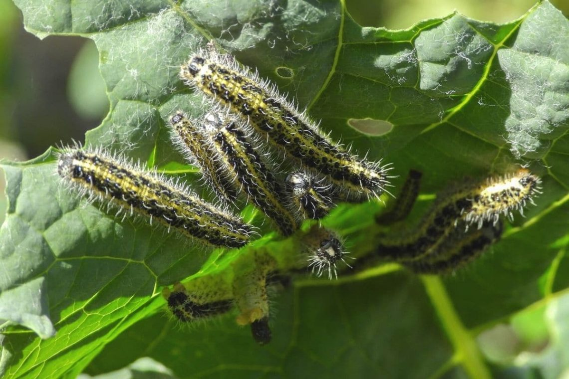 Raupen des Großen Kohlweißling (Pieris brassicae)
