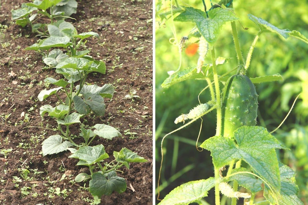 Einlegegurken Pflanzen und Frucht