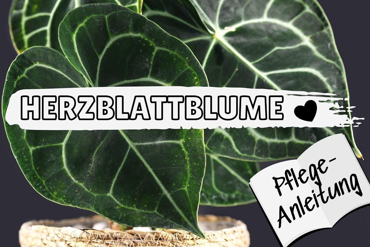 Herzblattblume (Anthurium clarinervium)
