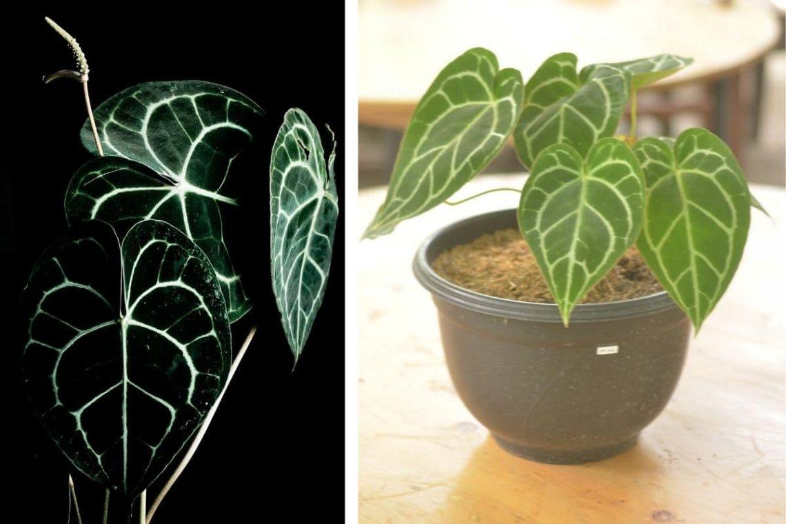 Herzblattblume Collage - Blätter und junge Pflanze im Topf