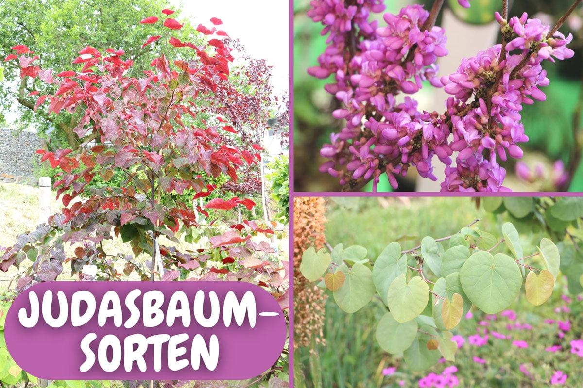 Judasbaum-Sorten - Chinesischer, Gewöhnlicher und Kanadischer Judasbaum