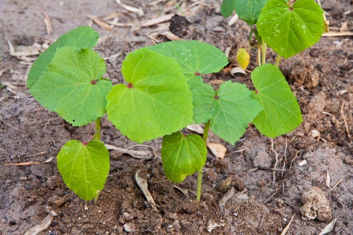 Einlegegurken: junge Gurkenpflanze