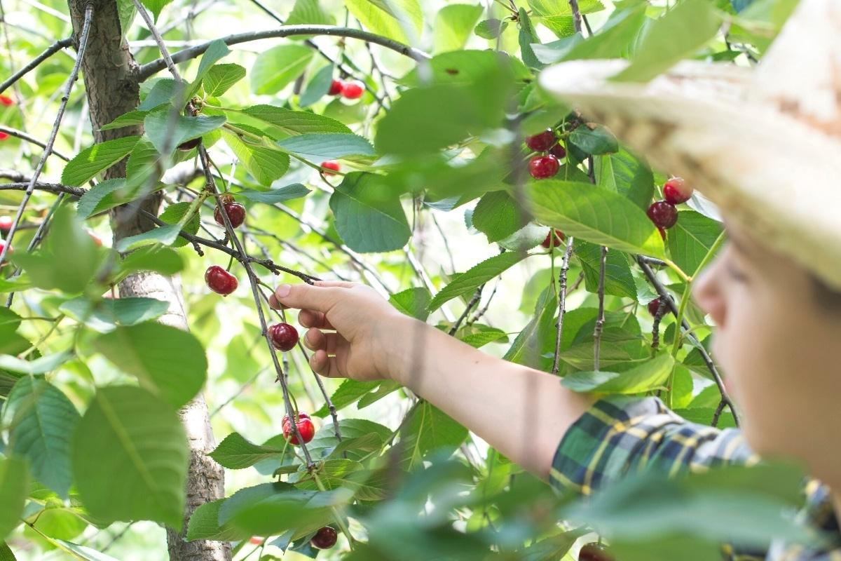 Junge pflückt Kirschen von Baum