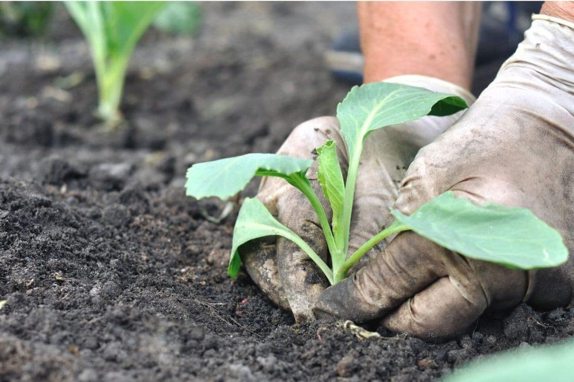 Kohl ins Beet auspflanzen