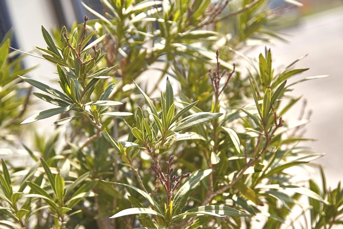 Oleander Zweige mit neuen Trieben