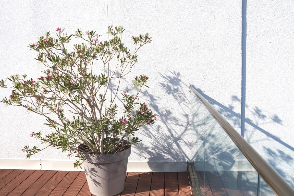 Oleander an Terassenwand