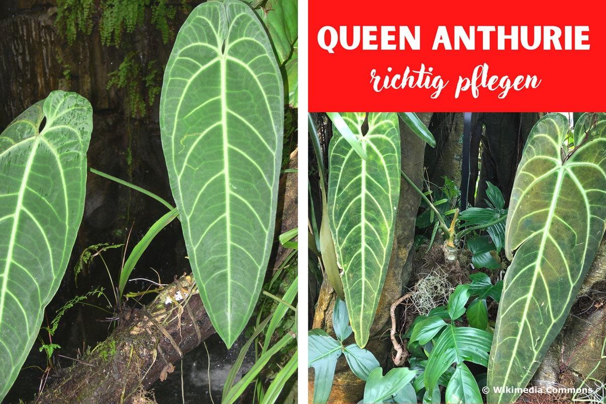 Queen Anthurie (Anthurium warocqueanum)