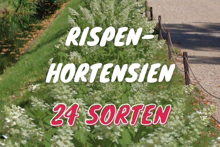 24 Rispenhortensien Sorten in schönen Farben - Titelbild