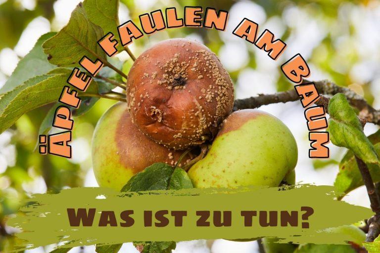 Äpfel faulen am Baum: was ist zu tun? - Titelbild