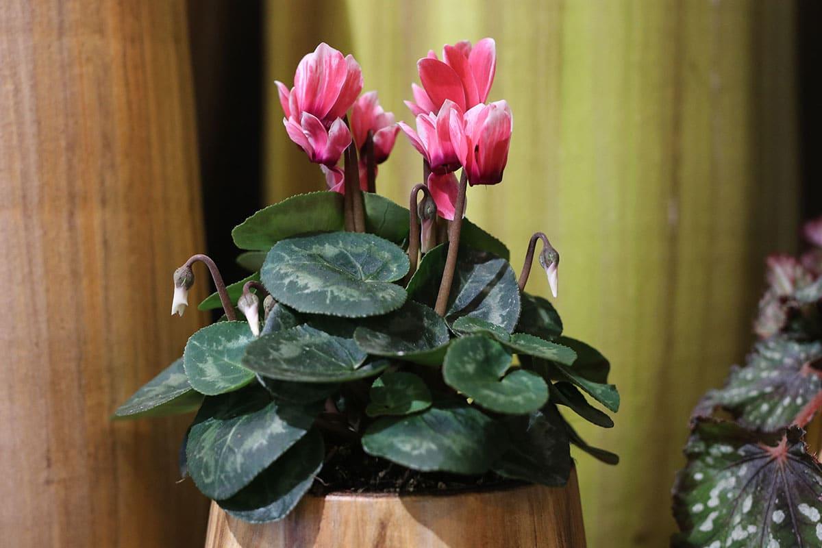 Alpenveilchen (Cyclamen persicum)