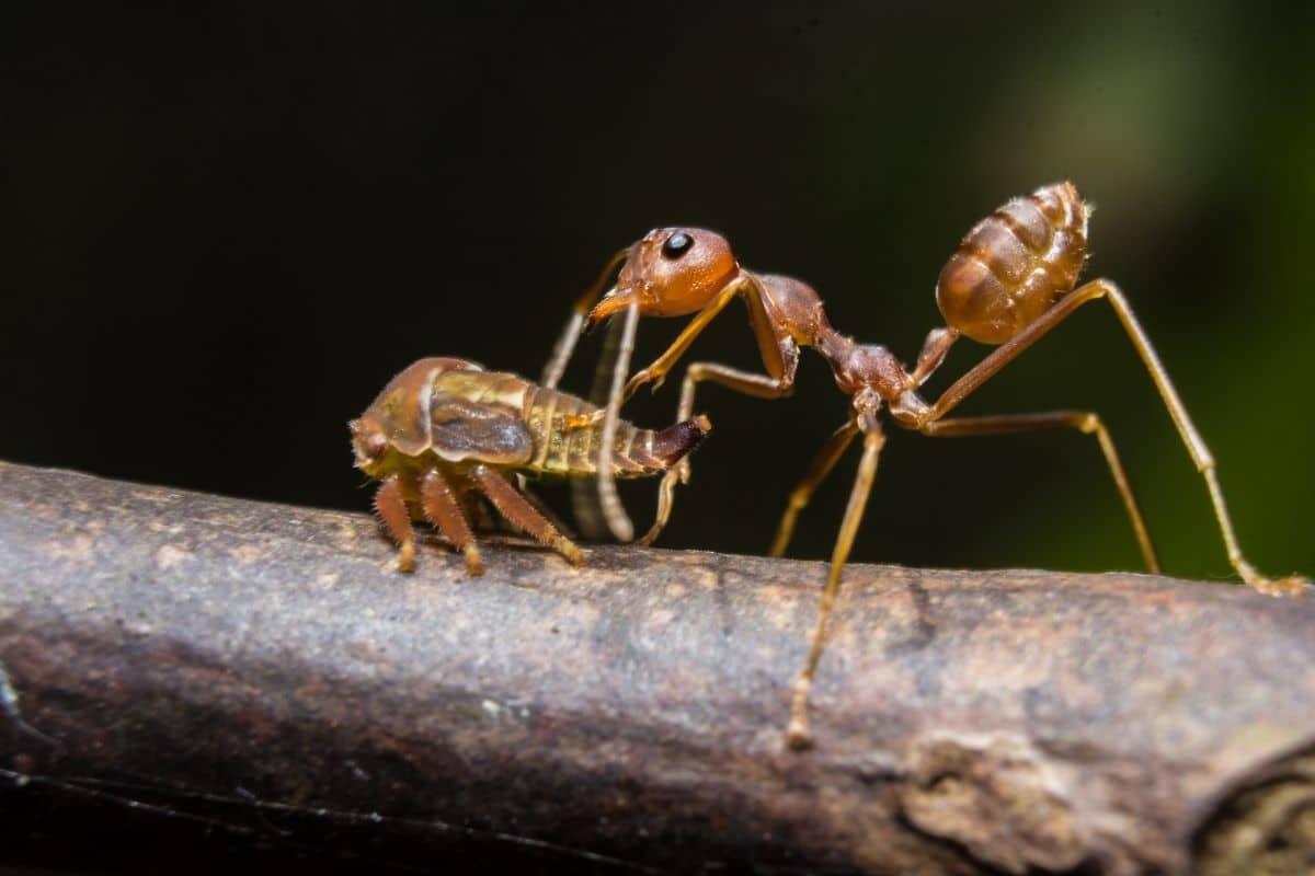 Ameise melkt Blattlaus