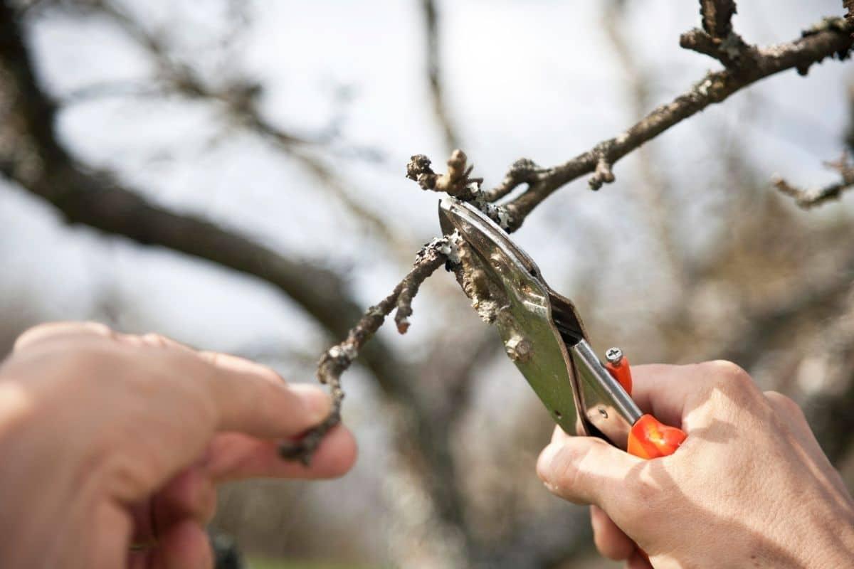 Apfelbaum Sommerschnitt
