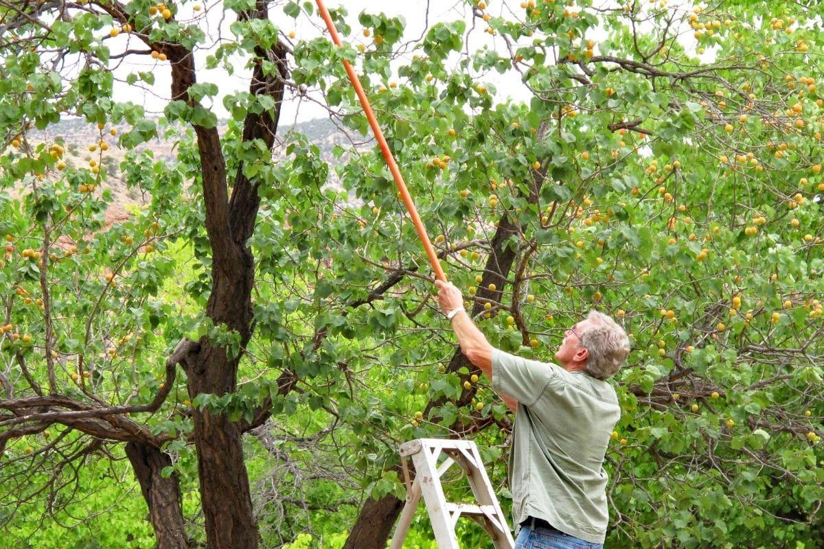 Aprikose ernten