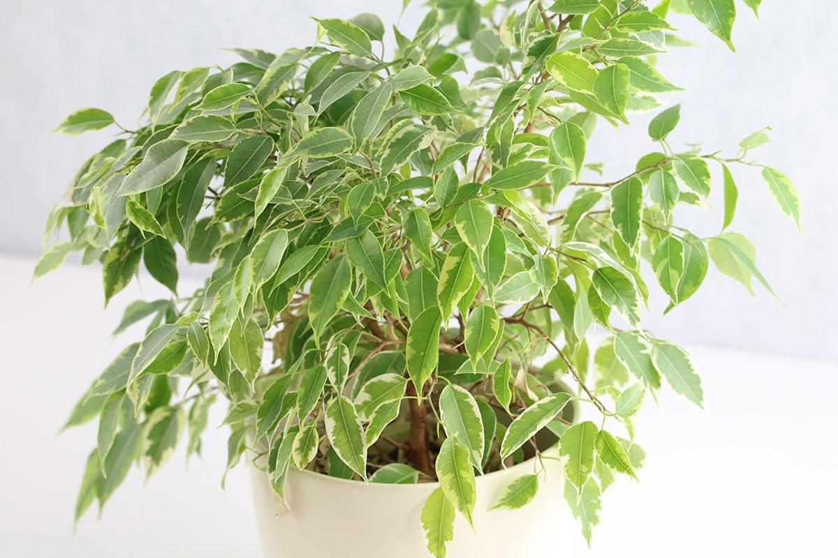 giftige Zimmerpflanzen: Birkenfeige (Ficus benjamina)
