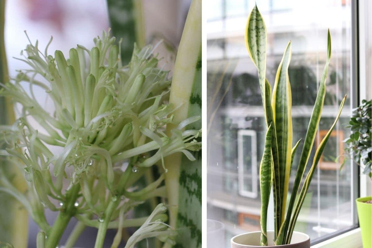 giftige Zimmerpflanzen: Bogenhanf (Sansevieria trifasciata)
