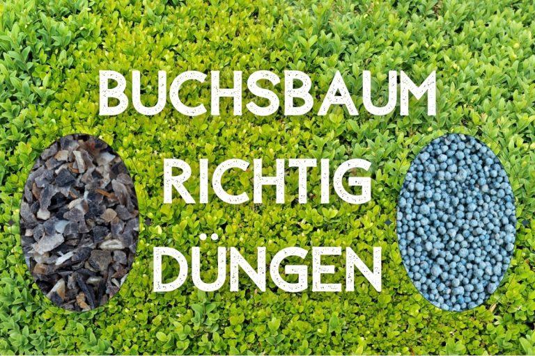 Buchsbaum richtig düngen - Titelbild