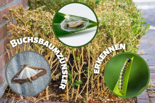 Buchsbaumzünsler erkennen: so sehen Eier und Raupen aus - Titelbild